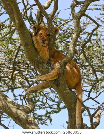Cute Lion Cub up a Tree in Serengeti National Park - stock photo