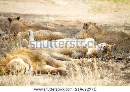 Cute lion sleeps on the back with paws in air - stock photo