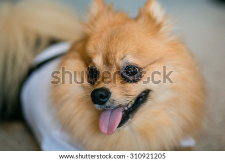 Cute little apricot red Spitz dog in festive white suit