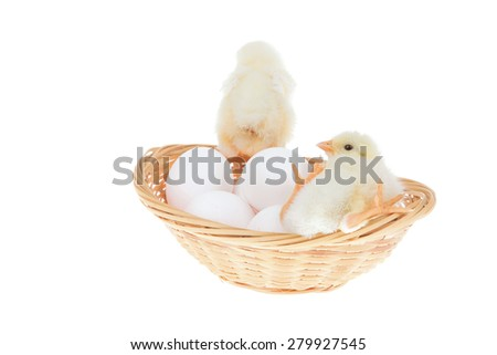 cute little baby chicken on white eggs inside wicked basket isolated over white background - stock photo