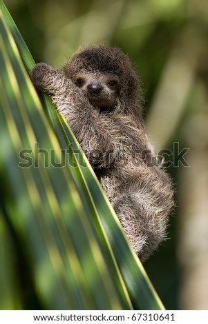cute little baby three-toed sloth, looking at you - stock photo