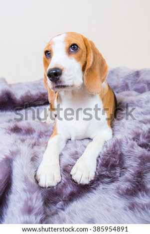 Cute little beagle dog laying on the fur bed