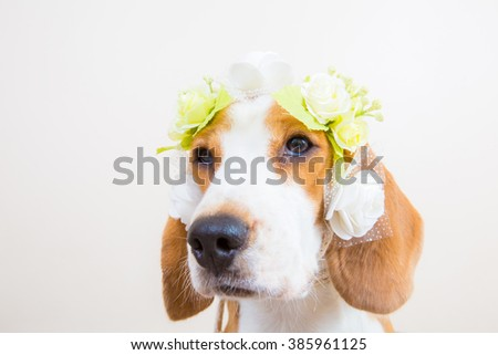 Cute little beagle dog portrait with flower on the face - stock photo