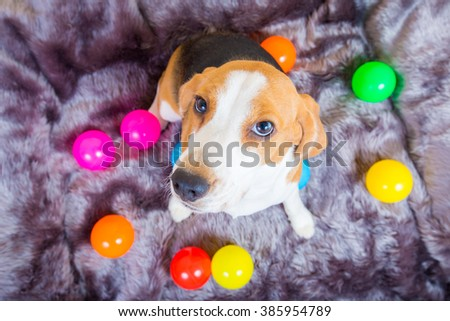 Cute little beagle dog sitting on the fur bed with colorful ball - stock photo
