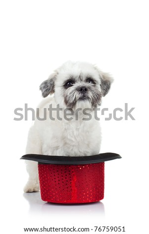 cute little bichon havanese puppy standing in a red show hat over white - stock photo
