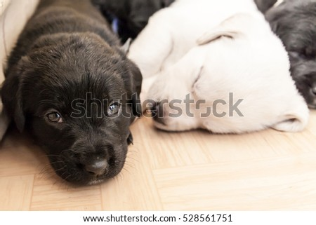 Cute little black and white labrador retriever puppies