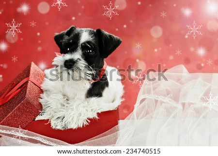 Cute little black and white Mini Schnauzer puppy peeping out of a beautiful red festive Christmas present. Extreme shallow depth of field with selective focus on puppies face. - stock photo
