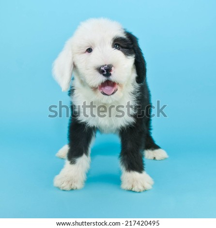 Cute little black and white Sheepdog puppy that looks like he is talking, standing on a blue background.