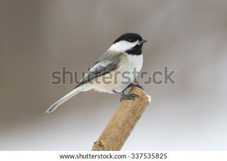 Cute little black-capped chickadee bird isolated on a lone perch in a cold winter season day in Canada