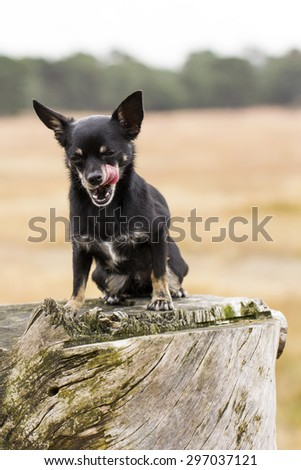 Cute Little Black Chihuahua Sitting on a Tree Stump Licking its Face - stock photo
