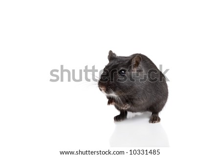 Cute little black gerbil sitting up on white
