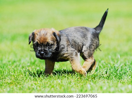 Cute little Border terrier puppy. The little dog is playing in the garden. The puppy is 5 weeks of age. - stock photo