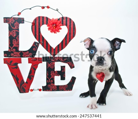 Cute little Boston puppy standing beside a love sign on a white background. - stock photo