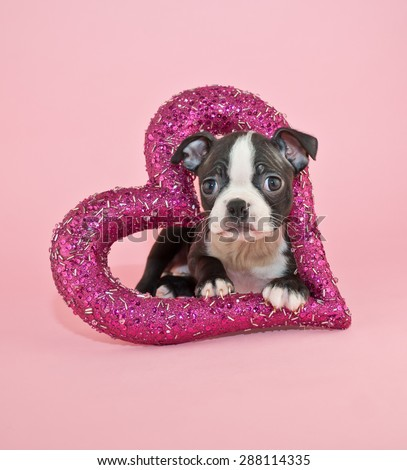 Cute little Boston Terrier puppy laying inside of a dark pink heart on a pink background.