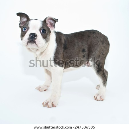 Cute little Boston Terrier puppy standing and looking up, on a white background. - stock photo