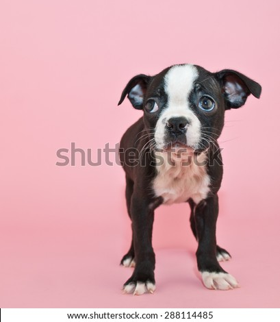 Cute little Boston Terrier puppy standing on a pink background looking to the right, with copy space.