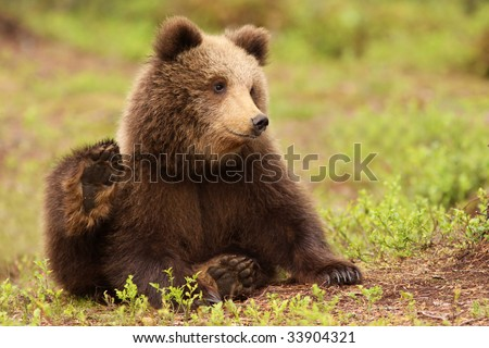 Cute little brown bear cub sitting in the grass - stock photo