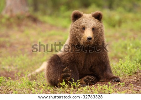 Cute little brown bear sitting and looking at you - stock photo