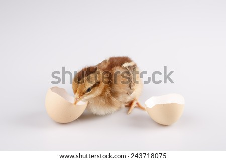 Cute little brown chicken coming out of a white egg isolated on white - stock photo