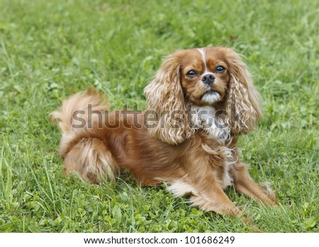 Cute little brown dog Cavalier King Charles Spaniel sitting in the grass - stock photo