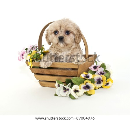 Cute little buff puppy sitting in a basket with flowers around her, on a white background.