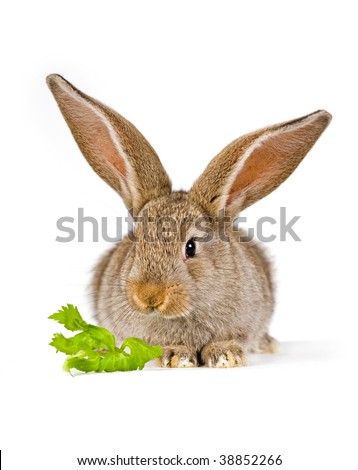 Cute little bunny (baby Flemish Giant) with a piece of green shot on white