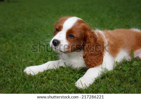 Cute little Cavalier King Charles Spaniel posing for the camera - stock photo
