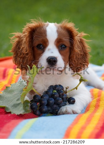 Cute little Cavalier King Charles Spaniel posing for the camera with grapes in front of him - stock photo