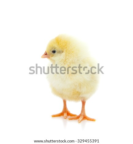 Cute little chick. All on white background