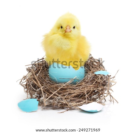 Cute little chicken in nest isolated on white background - stock photo