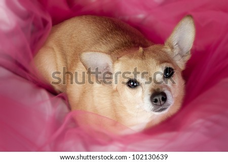Cute little Chihuaha dog lying on pink tulle.
