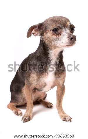 Cute little chihuahua dog looking frightened on a white background