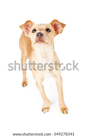 Cute little Chihuahua mixed breed dog lifting nose up in the air to smell a scent.
