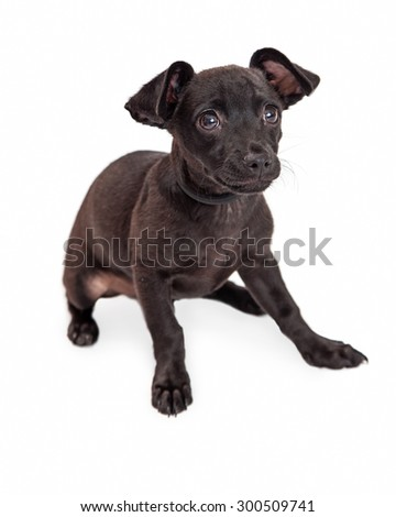 Cute little Chihuahua mixed breed dog with a black color coat sitting on a white studio background