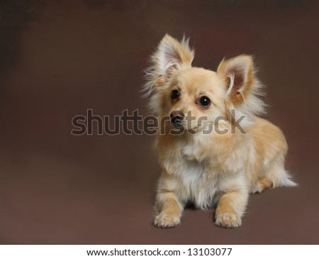 Cute little Chihuahua-Pomeranian mix dog on brown background - stock photo