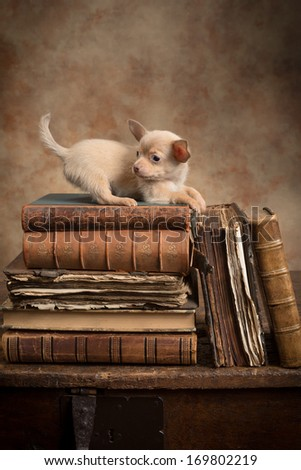 Cute little chihuahua puppy on top of old antique books - stock photo