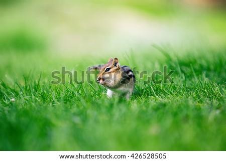 cute little chipmunk eating peanut on green grass - stock photo