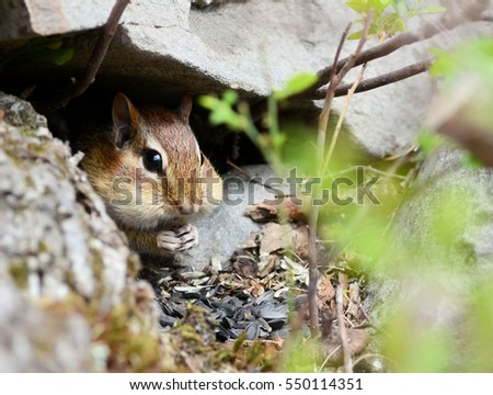 Cute little chipmunk hiding out among rocks while eating seeds