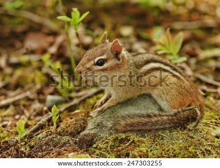Cute little chipmunk lounges on a rock - stock photo