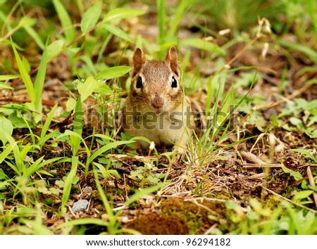 Cute little chipmunk popping out of her burrow hole - stock photo
