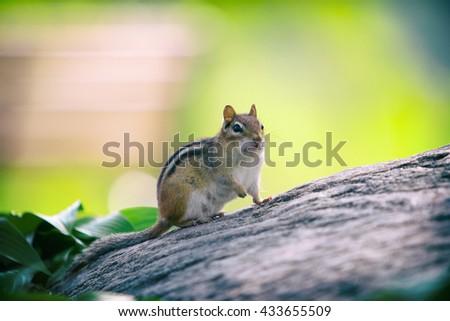 cute little chipmunk  sitting still on stone - stock photo