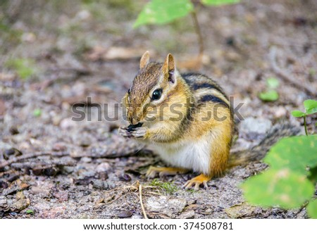 Cute little chipmunk stuffing its cheeks with nuts and seeds, Canada - stock photo