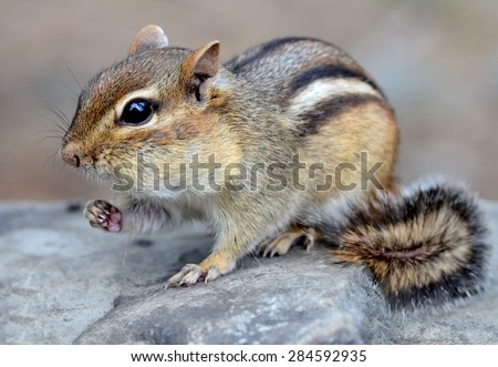 Cute little chipmunk with full cheeks eating a snack