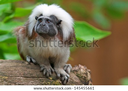 cute little cotton-head monkey - sitting on a branch - stock photo