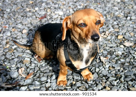 Cute Little Dachshund - stock photo