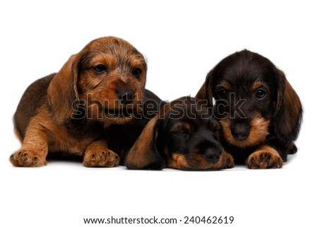 cute little dachshund puppies on white background