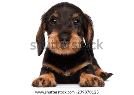cute little dachshund puppy on white background
