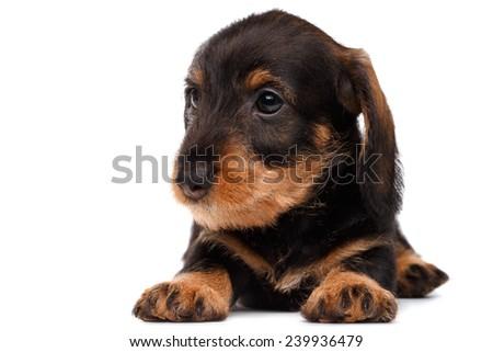 cute little dachshund puppy on white background - stock photo
