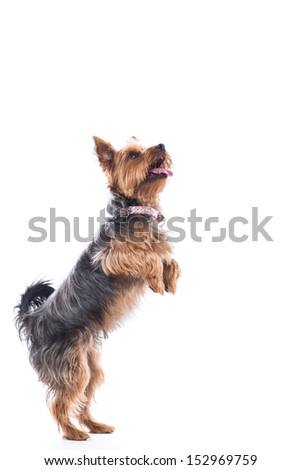 Cute little dog, a small Yorkshire terrier, standing on his hand legs begging for treats with his tongue out in anticipation, isolated on white - stock photo