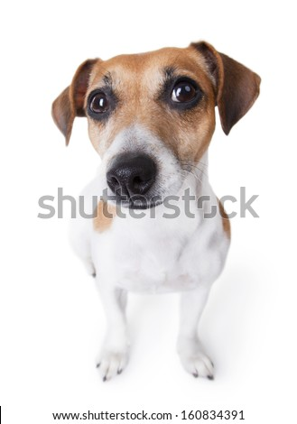Cute little dog . curious with smile stares into the camera from the bottom up. White background. Studio shot. - stock photo